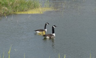 Young Canada Goose Family